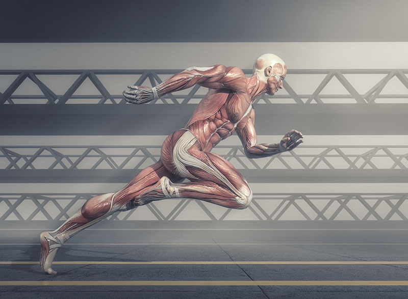 A scientific drawing of the human muscular system, while the body is in a running pose